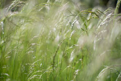 Green fluffy grass with sunlight - blur background royalty free stock photography