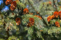 Green fluffy pine branch with a cone Royalty Free Stock Photography