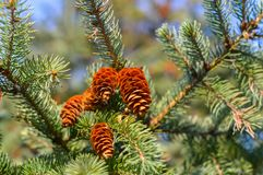 Green fluffy pine branch with a cone Stock Image