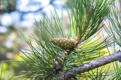 Green fluffy pine branch with a green cone Royalty Free Stock Photography