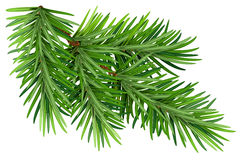 Green fluffy pine branch.  on white background. Illustration in vector format Stock Photography