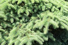 Green fluffy thorny coniferous fir-tree pine branches of a tree fir-trees illuminated by sunlight.  royalty free stock photography