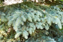 Green fluffy thorny coniferous fir-tree pine branches of a tree fir-trees illuminated by sunlight.  royalty free stock images