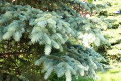 Green fluffy thorny coniferous fir-tree pine branches of a tree fir-trees illuminated by sunlight.  royalty free stock photo