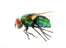 Green fly Royalty Free Stock Photos