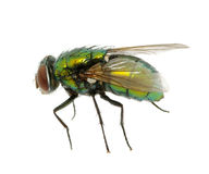 Green fly Royalty Free Stock Image