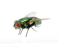 Free Green Fly Royalty Free Stock Images - 16986629