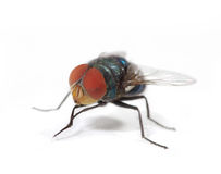 Green fly Stock Photography