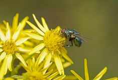 Green fly Royalty Free Stock Images
