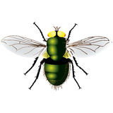 Green fly Stock Image