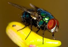 Green Fly. Macro of a Green Fly Royalty Free Stock Photography