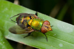 A green fly Royalty Free Stock Images