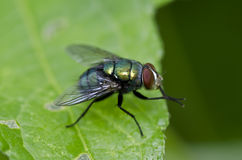 Green fly on green leaf Royalty Free Stock Photography