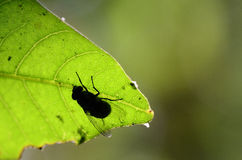 Green and fly. Fly on a illuminated leaf Royalty Free Stock Photography