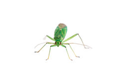 Green fly isolated on white background Royalty Free Stock Photography