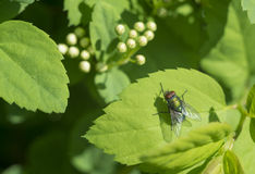 Green Fly on Leaf Royalty Free Stock Images