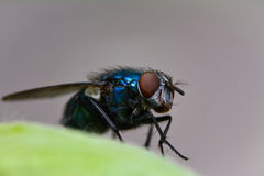 Green fly nose. Macro of green fly (chrysomya albiceps royalty free stock photography
