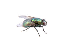 Free Green Fly On A White Background Stock Images - 57551114