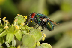 Green Fly On Ivy Flower Stock Images