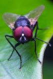 Green fly. Red eye on leaves Stock Image
