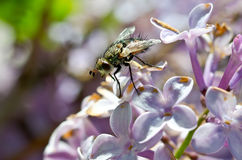 Green Fly Resting on Lilac Blossoms Stock Photos