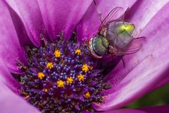 Green fly looking for nectar in a daisy stock photo