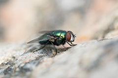 Green fly on a stone surface Royalty Free Stock Photo