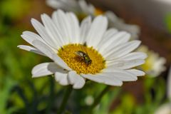 A green fly visits a white and yellow daisy in a group of wildflowers. Beauty in nature, fragility, colors of spring. Green area, white flowering plant, flower stock photo