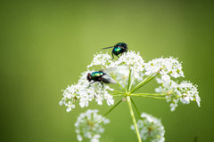 Green fly on a white flower. On a green background royalty free stock photo