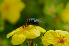 Green fly on yellow flower Royalty Free Stock Photo