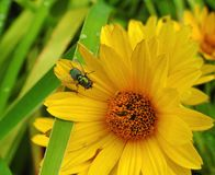 Green fly on yellow flower in garden, Lithuania Stock Image