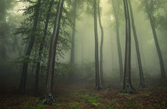 Green fog in a forest in summer Royalty Free Stock Photos