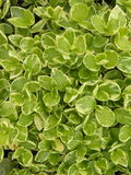 Green foliage. Suitable as background Royalty Free Stock Photo