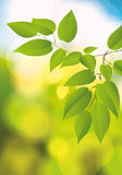 Green foliage. Royalty Free Stock Images