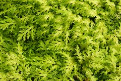 Green Foliage Royalty Free Stock Photography