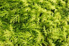 Green Foliage Royalty Free Stock Photography