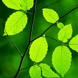 Green foliage Royalty Free Stock Images