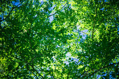 Green foliage. In bright summer light Royalty Free Stock Images