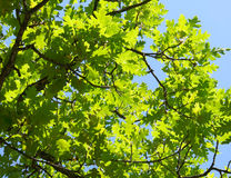Green foliage. On blue sky background Royalty Free Stock Photo