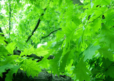 Green foliage. On a summer day Stock Image