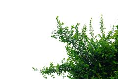 Top view tropical tree leaves with branches on white isolated background. For green foliage backdrop and copy space stock photos