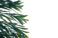 Tropical rainforest palm leaves with branches on white isolated background. For green foliage backdrop and copy space stock images