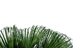 Palm leaves and wind blowing on white isolated background royalty free stock photos