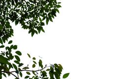 Top view tropical tree leaves with branches on white isolated background. Green foliage backdrop stock photos