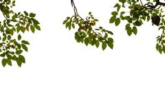 Top view tropical tree leaves with branches on white isolated background. Green foliage backdrop stock image