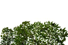 Top view tropical tree leaves with branches on white isolated background. Green foliage backdrop royalty free stock photo