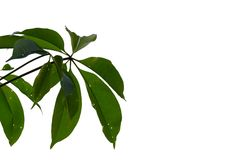 Top view tropical tree leaves with branches on white isolated background. Green foliage backdrop stock images