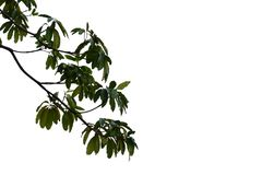 Top view tropical tree leaves with branches on white isolated background. Green foliage backdrop stock photography