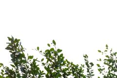 Top view tropical tree leaves with branches on white sky background. Green foliage backdrop stock photo