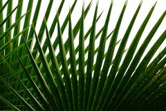 Tropical tree palm leaves with branches on white isolated background royalty free stock photos